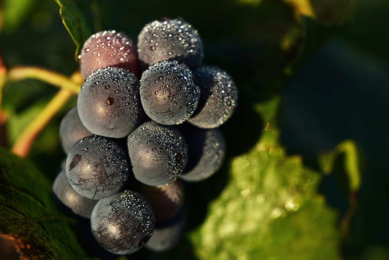 Grappe de raisin gourmande Chambolle Musigny