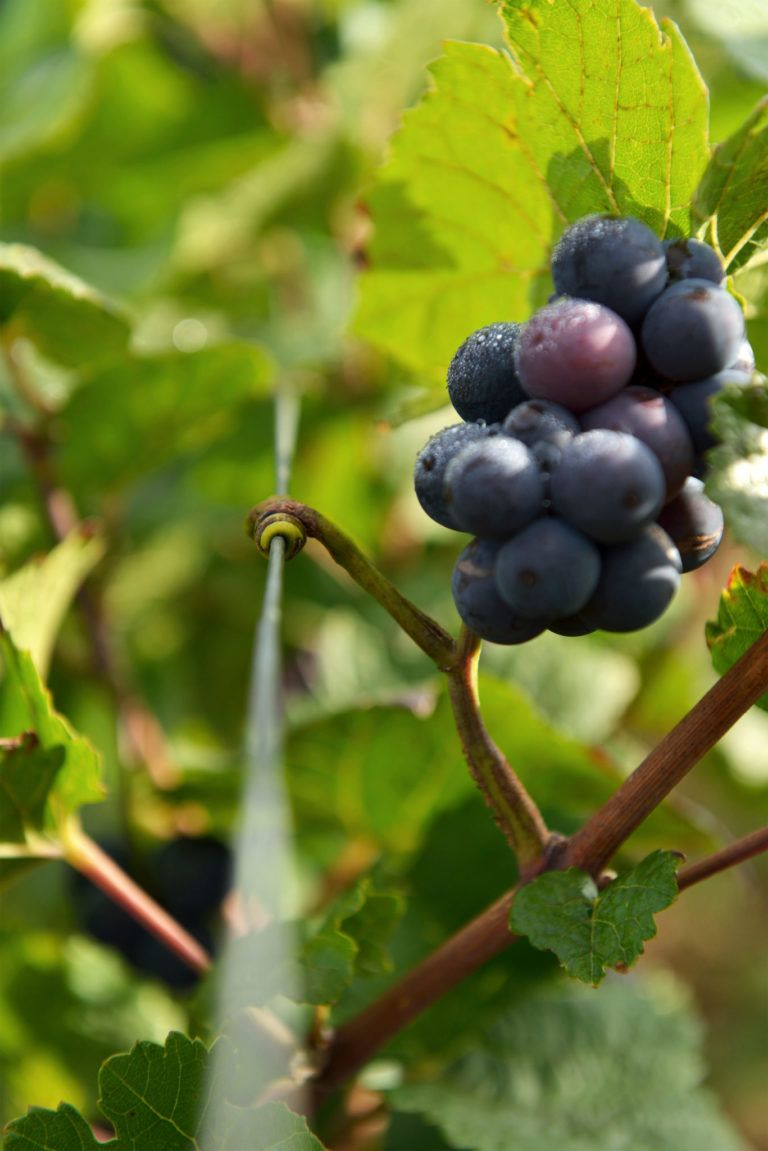 Grappe de raisin en vrille