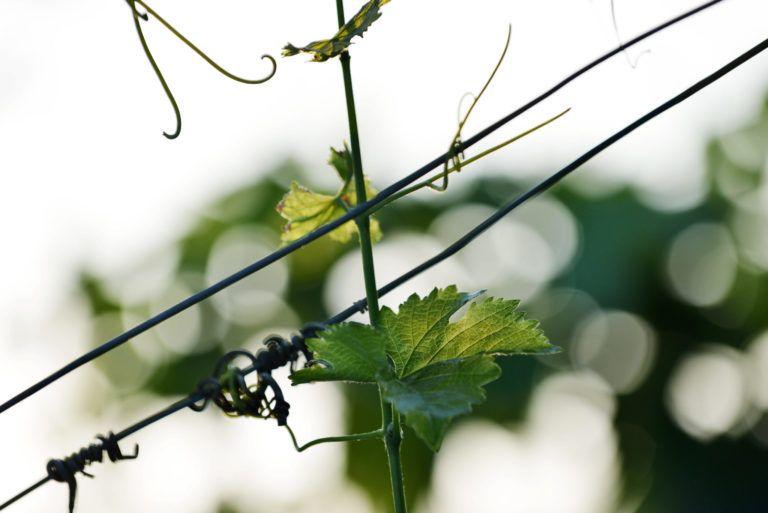 Vigne (feuilles et vrilles) au Domaine Trévallon St Etienne de Grès