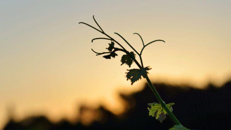 Lever de soleil dans les vignes de Dominique Hauvette
