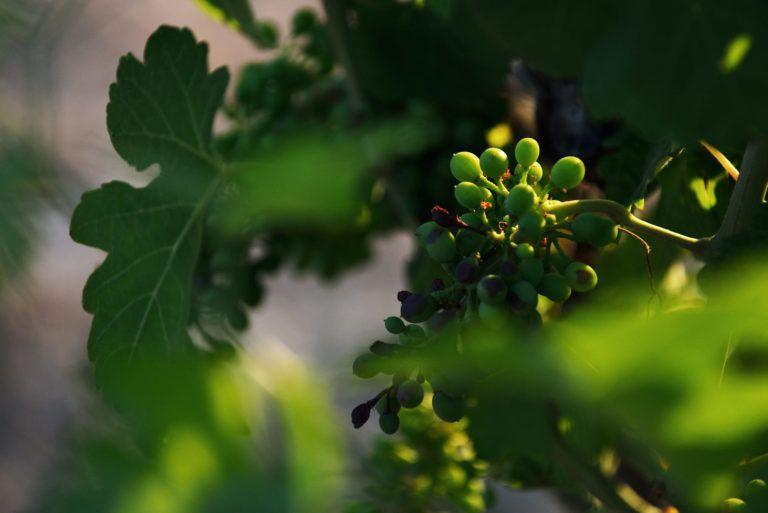 Vignes Sainte Victoire Aix en Provence