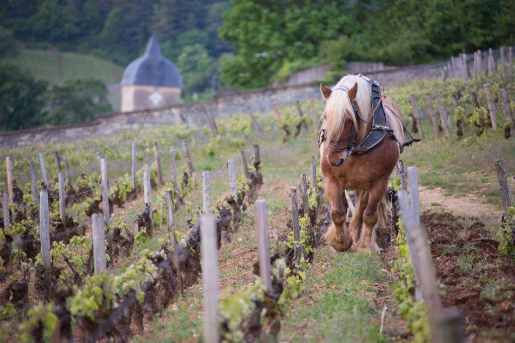 Jacobert Alain labour dans les Fuées Vignes Chambolle