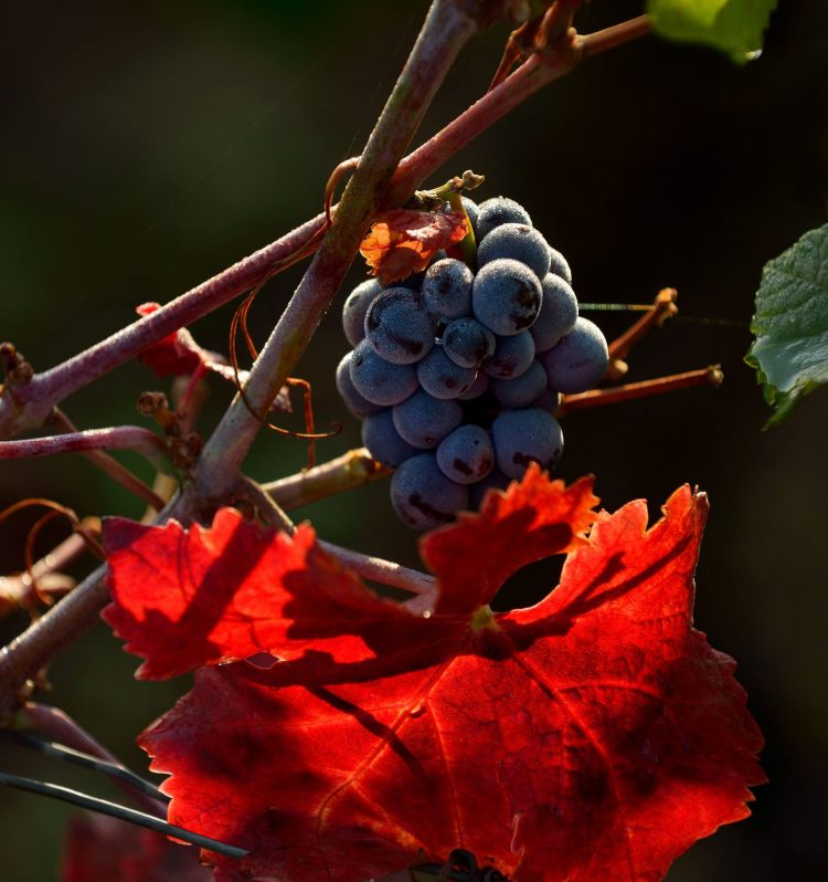 Grappe et feuille colorée. Chambolle-Musigny.