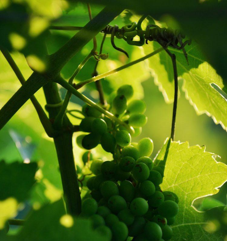 Vin biodynamie Saint Rémy de Provence