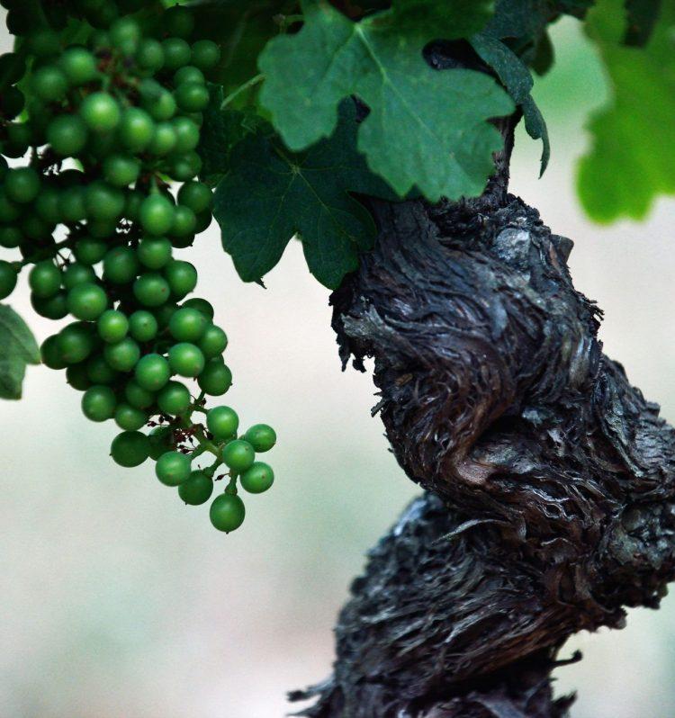 Pied de vigne chez Dominique Hauvette St Rémy de Provence